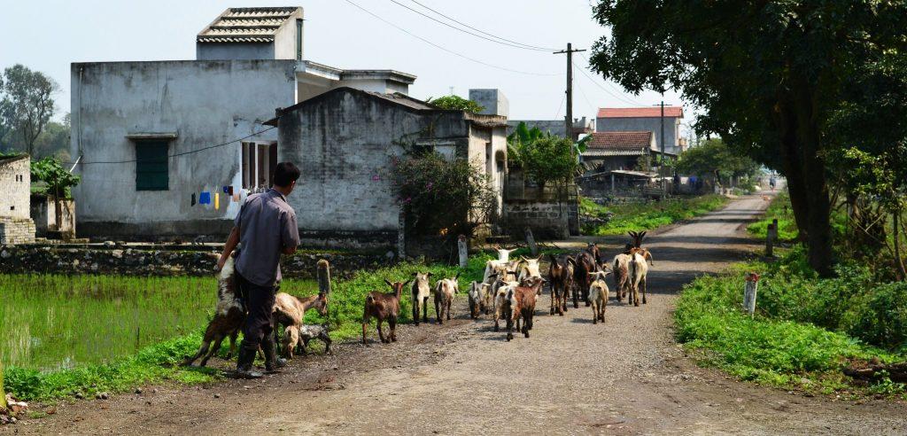 Goats in Ninh Binh